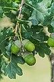 Quercus robur in Aveyron 03.jpg