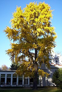 Bienfaits Ginkgo Biloba - Comment favoriser l'attention et la concentration de votre ...