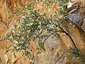 Ragged Rockflower - Flickr - treegrow.jpg