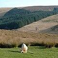 Ram grazing at Cwm Doethie Fawr, Ceredigion, Wales.jpg