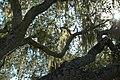 Ramalinareticulatamenziesii.jpg