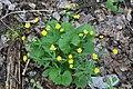 Ranunculus cassubicus (Ranunculaceae) (49874549813).jpg