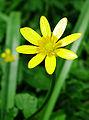 Ranunculus ficaria Flower closeup.jpg