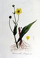 Ranunculus lingua — Flora Batava — Volume v7.jpg