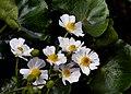 "Ranunculus lyallii (Mountain buttercup) ""Mount Cook Lily"" (23491174359).jpg"