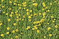 Ranunculus repens.jpg