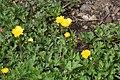 Ranunculus repens in Jardin Botanique de l'Aubrac 06.jpg