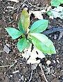 Rapanea melanophloeos - seedling.JPG