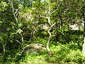 Raymond Hood Gravesite Unmarked Grove of Mountain Laurel.JPG