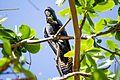 Red-tailed Black Cockatoo - female (16120026176).jpg