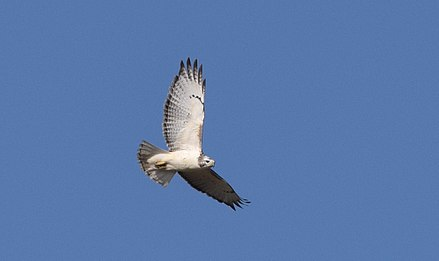 A Krider's red-tailed hawk, a pale color morph or race. Red-tailed Hawk (Krider's) (31204286911).jpg