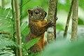 Red-tailed Squirrel (Sciurus granatensis) 2015-06-05 (8) (25439712137).jpg