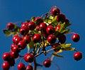 Red Berries 2 (6302676736).jpg