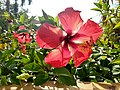 Red Hibiscus 01.jpg