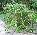 Red Jade jabłonka.jpg