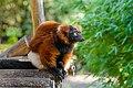Red Ruffed Lemur (50350429786).jpg