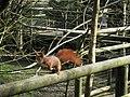 Red Squirrel at British Wildlife Centre - geograph.org.uk - 1784506.jpg