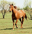 Red roan horse trotting.jpg
