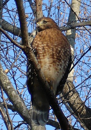 Red-shouldered hawk - Image: Red shouldered hawk closeup