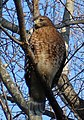 Red shouldered hawk closeup.jpg