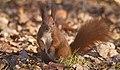 Red squirrel (51015085383).jpg