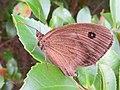 Reddish brown Minois dryas.jpg