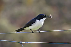 Restless flycatcher with huntsman.jpg