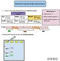 Restriction Fragment Length Polymorphism.jpg
