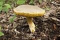 Retiboletus ornatipes 01.jpg