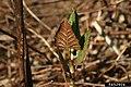Reynoutria japonica leaf (05).jpg