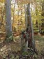 Rezerwat przyrody Dęby w Meszczach 12.59.jpg