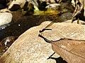 Rhinocypha bisignata, stream ruby..jpg