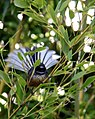 Rhipidura fuliginosa -Manawatu-Wanganui Region, New Zealand -male-8.jpg