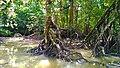 Rhizopora stylosa Found in Mangrove of Cilintang, Taman Nasional Ujung Kulon, Banten.jpg