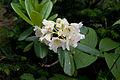 Rhododendron brachycarpum 09.jpg