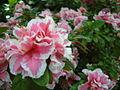 Rhododendron cv (2944465700).jpg