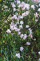 Rhododendron davidsonianum - Caerhayes Castle gardens - Cornwall, England - DSC03259.jpg