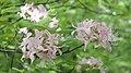 Rhododendron prinophyllum.jpg
