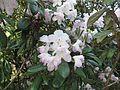 Rhododendron smirnowii 02.JPG
