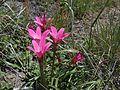 Rhodophiala andicola.JPG