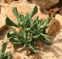 Rhombophyllum dolabriforme3.jpg