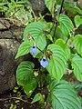 Rhynchoglossum obliquum 39.JPG