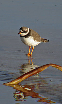 Common ringed plover wading on a shore