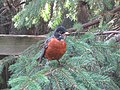 Robin on Pine - panoramio.jpg