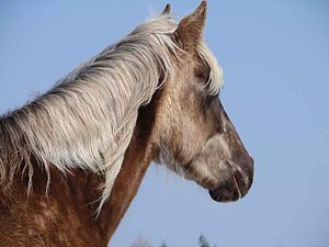 "Rocky Mountain Horse - The mane and tail of ""chocolate"" colored horses are several shades lighter than the coat."