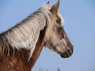 """Rocky Mountain Horse - The mane and tail of """"chocolate"""" colored horses are several shades lighter than the coat."""