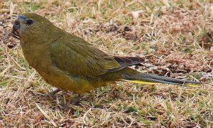 Rock parrot - At Cape Leeuwin, Western Australia
