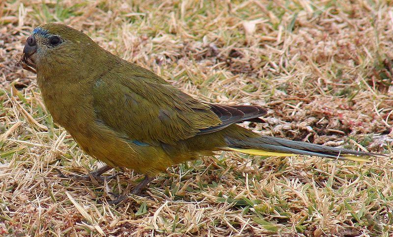 File:Rock Parrot Cape Leeuwin 2 email.jpg