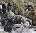 Rockhopper Penguins on West Point Island (5545286645).jpg