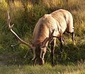 Rocky Mountain National Park in September 2011 - male Elk with wire on antlers.JPG